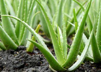 Cilat janë Përfitimet e Aloe Verës
